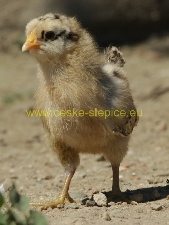 photo Czech Gold Brindled chicken, chicken